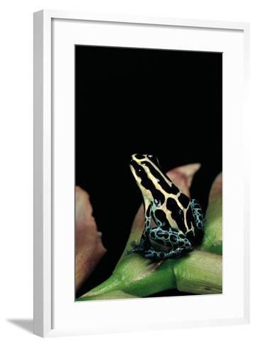 Ranitomeya Ventrimaculata (Reticulated Poison Frog)-Paul Starosta-Framed Art Print