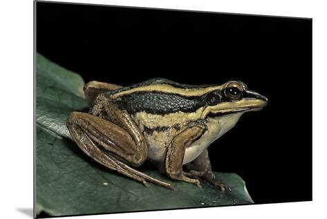 Hylarana Erythraea (Common Green Frog, Leaf Frog)-Paul Starosta-Mounted Photographic Print