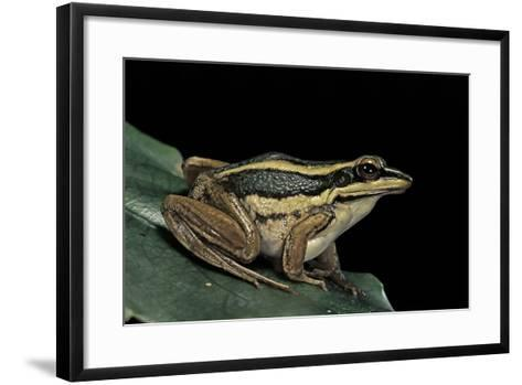 Hylarana Erythraea (Common Green Frog, Leaf Frog)-Paul Starosta-Framed Art Print