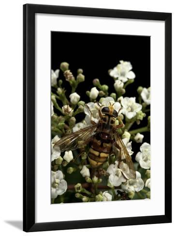 Milesia Crabroniformis (Hoverfly)-Paul Starosta-Framed Art Print