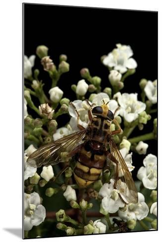 Milesia Crabroniformis (Hoverfly)-Paul Starosta-Mounted Photographic Print