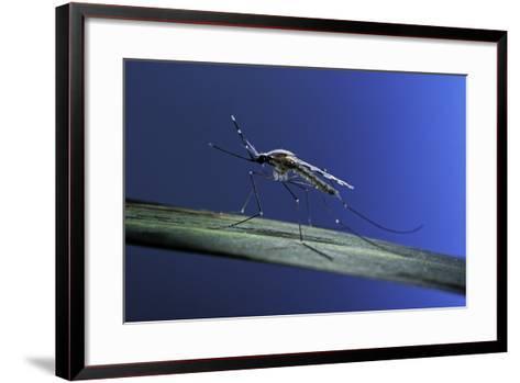 Anopheles Maculipennis (Malaria Mosquito)-Paul Starosta-Framed Art Print