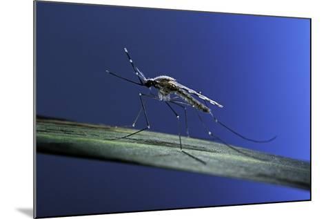 Anopheles Maculipennis (Malaria Mosquito)-Paul Starosta-Mounted Photographic Print