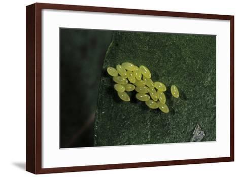 Adalia Bipunctata (Twospotted Lady Beetle) - Eggs-Paul Starosta-Framed Art Print