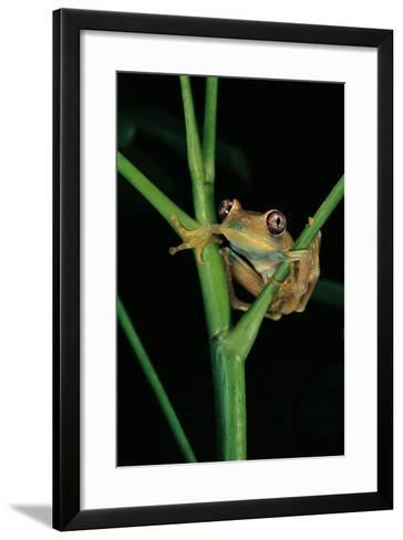Leptopelis Barbouri (Barbour's Tree Frog)-Paul Starosta-Framed Art Print