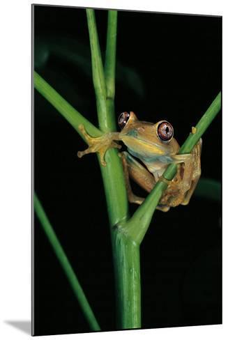 Leptopelis Barbouri (Barbour's Tree Frog)-Paul Starosta-Mounted Photographic Print