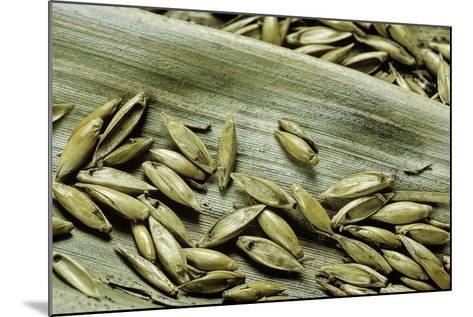 Bambusa Arundinacea (Bamboo) - Seeds-Paul Starosta-Mounted Photographic Print