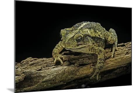 Incilius Valliceps (Gulf Coast Toad)-Paul Starosta-Mounted Photographic Print