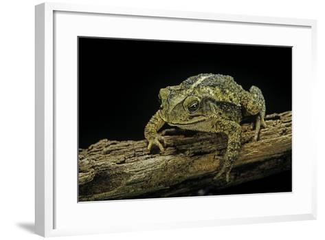 Incilius Valliceps (Gulf Coast Toad)-Paul Starosta-Framed Art Print