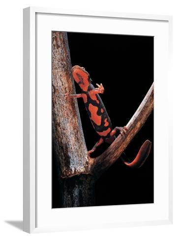 Pachytriton Breviceps-Paul Starosta-Framed Art Print