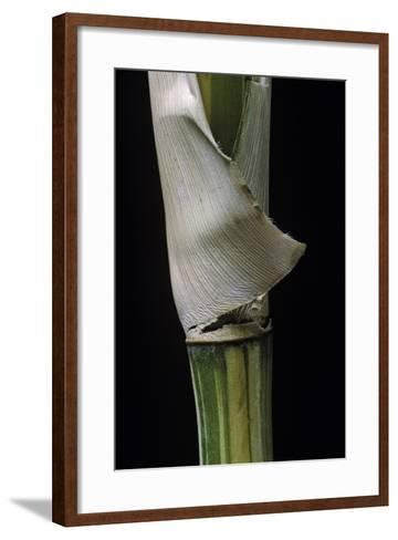 Bambusa Multiplex 'Alphonse Karr' (Bamboo) - Shoot-Paul Starosta-Framed Art Print