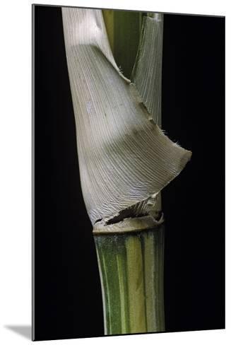 Bambusa Multiplex 'Alphonse Karr' (Bamboo) - Shoot-Paul Starosta-Mounted Photographic Print