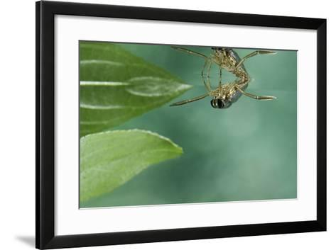 Notonecta Glauca (Water Boatman, Backswimmer)-Paul Starosta-Framed Art Print
