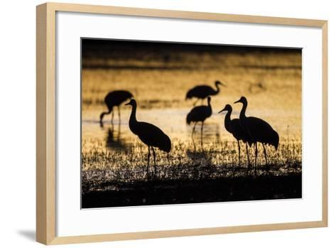 Sandhill Cranes, Bosque Del Apache, New Mexico-Paul Souders-Framed Art Print