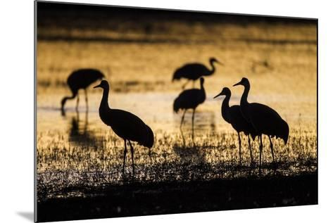 Sandhill Cranes, Bosque Del Apache, New Mexico-Paul Souders-Mounted Photographic Print