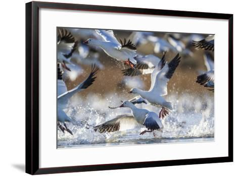 Snow Geese, Bosque Del Apache, New Mexico-Paul Souders-Framed Art Print