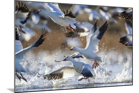 Snow Geese, Bosque Del Apache, New Mexico-Paul Souders-Mounted Photographic Print