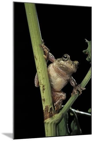Hyla Versicolor (Gray Treefrog)-Paul Starosta-Mounted Photographic Print