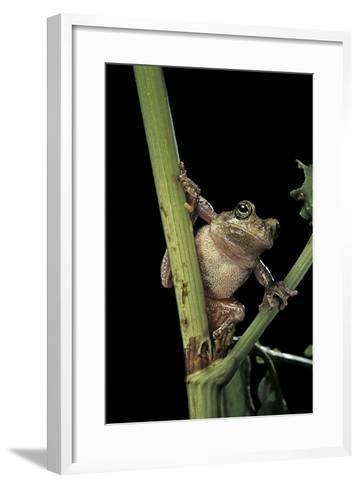 Hyla Versicolor (Gray Treefrog)-Paul Starosta-Framed Art Print
