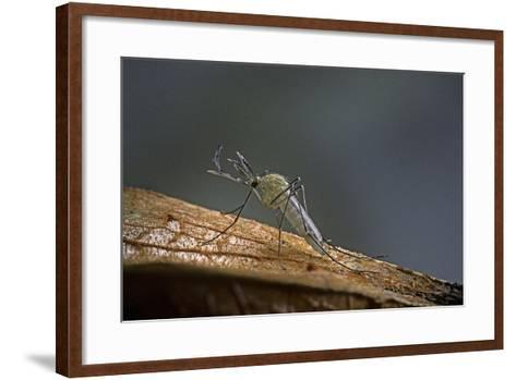 Culex Pipiens (Common House Mosquito)-Paul Starosta-Framed Art Print