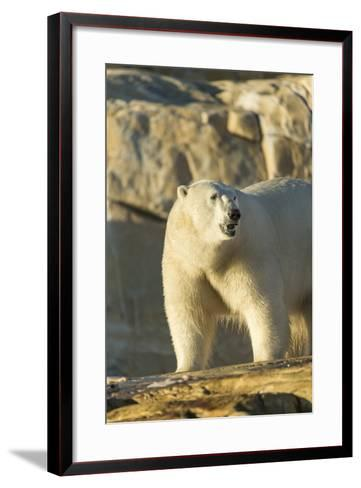 Polar Bear along Hudson Bay, Nunavut, Canada-Paul Souders-Framed Art Print