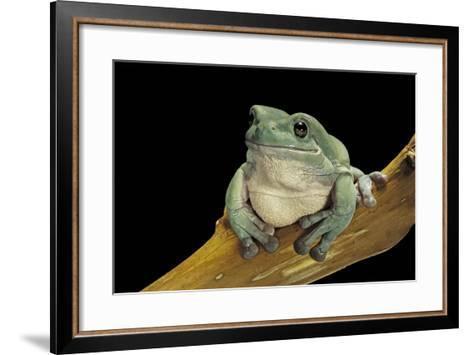 Litoria Caerulea (Dumpy Treefrog)-Paul Starosta-Framed Art Print
