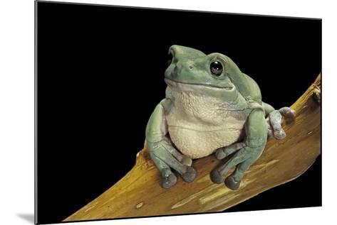 Litoria Caerulea (Dumpy Treefrog)-Paul Starosta-Mounted Photographic Print