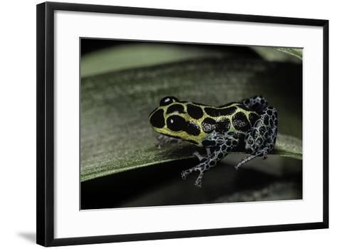 Ranitomeya Imitator (Mimic Poison Frog)-Paul Starosta-Framed Art Print