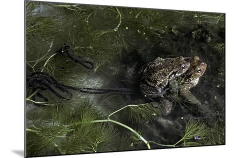 Bufo Bufo (European Toad, Common Toad) - Mating-Paul Starosta-Mounted Photographic Print