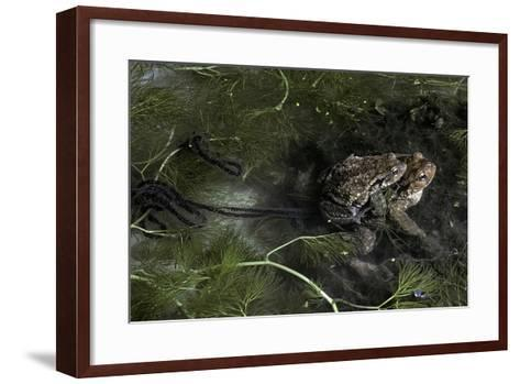 Bufo Bufo (European Toad, Common Toad) - Mating-Paul Starosta-Framed Art Print