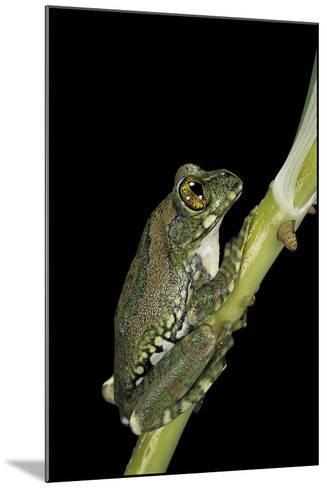 Leptopelis Vermiculatus (Amani Forest Treefrog, Big-Eyed Treefrog)-Paul Starosta-Mounted Photographic Print
