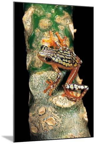 Hyperolius Puncticulatus Amani (Spotted Reed Frog)-Paul Starosta-Mounted Photographic Print