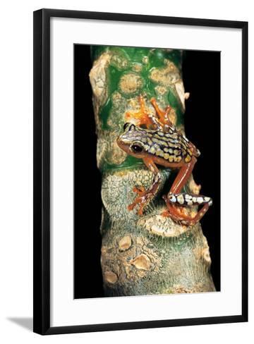 Hyperolius Puncticulatus Amani (Spotted Reed Frog)-Paul Starosta-Framed Art Print