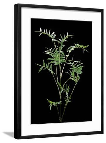 Bambusa Multiplex 'Fernleaf' (Bamboo)-Paul Starosta-Framed Art Print