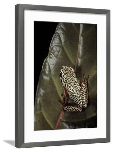 Hyperolius Marmoratus (Marbled Reed Frog, Painted Reed Frog); Multicolored-Paul Starosta-Framed Art Print