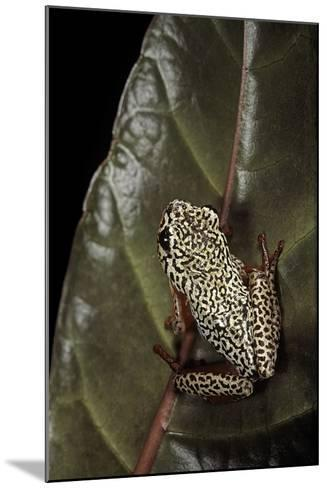 Hyperolius Marmoratus (Marbled Reed Frog, Painted Reed Frog); Multicolored-Paul Starosta-Mounted Photographic Print
