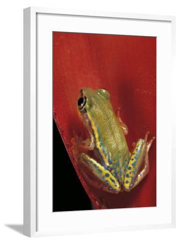 Heterixalus Betsileo (Betsileo Reed Frog)-Paul Starosta-Framed Art Print