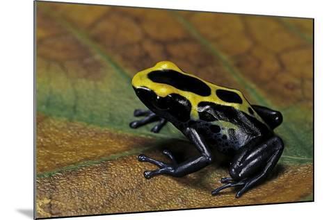 Dendrobates Tinctorius (Dyeing Poison Dart Frog)-Paul Starosta-Mounted Photographic Print