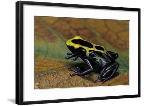 Dendrobates Tinctorius (Dyeing Poison Dart Frog)-Paul Starosta-Framed Art Print