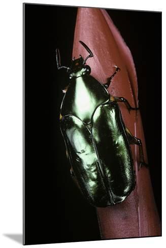 Agestrata Orichalca (Flower Beetle)-Paul Starosta-Mounted Photographic Print
