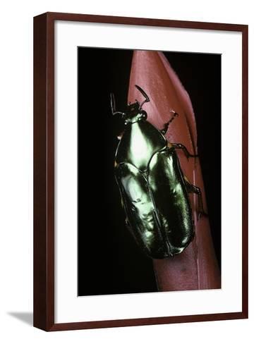 Agestrata Orichalca (Flower Beetle)-Paul Starosta-Framed Art Print