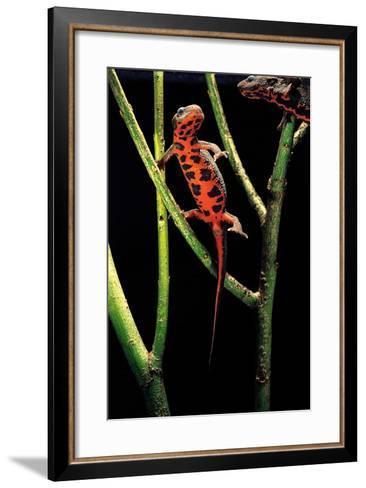 Cynops Pyrrhogaster (Japanese Fire-Bellied Newt)-Paul Starosta-Framed Art Print