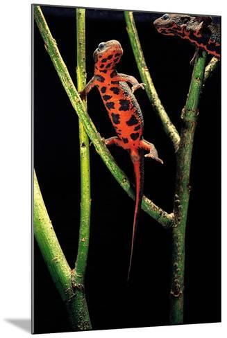Cynops Pyrrhogaster (Japanese Fire-Bellied Newt)-Paul Starosta-Mounted Photographic Print