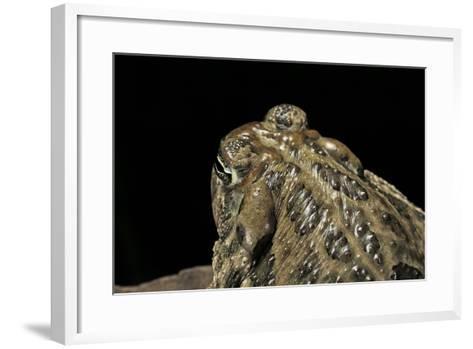 Anaxyrus Cognatus (Great Plains Toad)-Paul Starosta-Framed Art Print