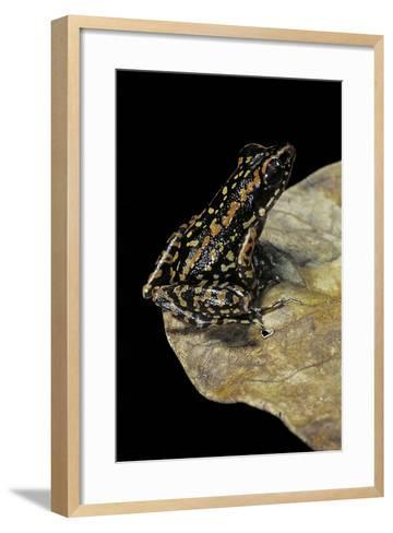 Hylarana Signata (Spotted Stream Frog)-Paul Starosta-Framed Art Print