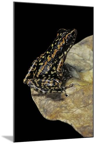 Hylarana Signata (Spotted Stream Frog)-Paul Starosta-Mounted Photographic Print