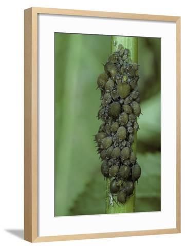 Aphids Colony-Paul Starosta-Framed Art Print