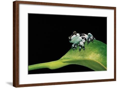 Phrynohyas Resinifictrix (Amazon Milk Frog) - Young-Paul Starosta-Framed Art Print