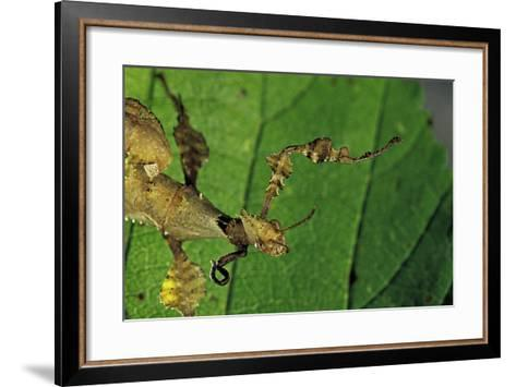 Extatosoma Tiaratum (Giant Prickly Stick Insect) - with a New Leg-Paul Starosta-Framed Art Print