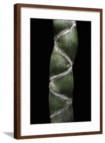 Phyllostachys Edulis Var. Heterocycla (Tortoiseshell Bamboo, Kikkouchiku)-Paul Starosta-Framed Art Print